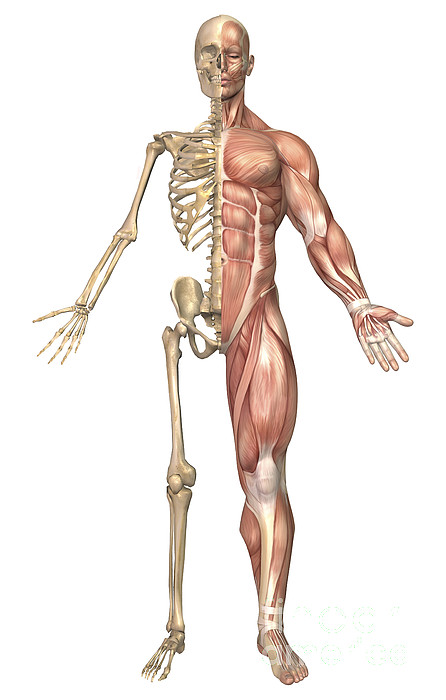 Vertical Digital Art - The Human Skeleton And Muscular System by Stocktrek Images