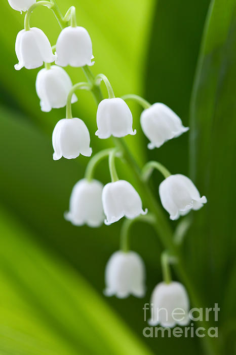 The Photograph - The Lily Of The Valley by Boon Mee