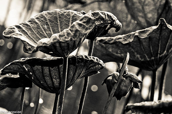 Leafs Photograph - The Lines On Leafs And Age by Kornrawiee Miu Miu