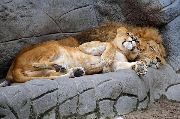 Lion Digital Art - The Lion Sleeps Tonight by Eva Kaufman