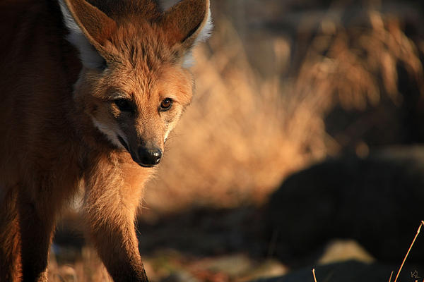 Maned Wolf Photograph - The Maned Wolf by Karol Livote