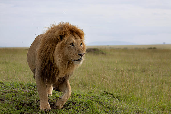 Cat Photograph - The Most Beautiful Lion Of The Masai Mara by Maggy Meyer