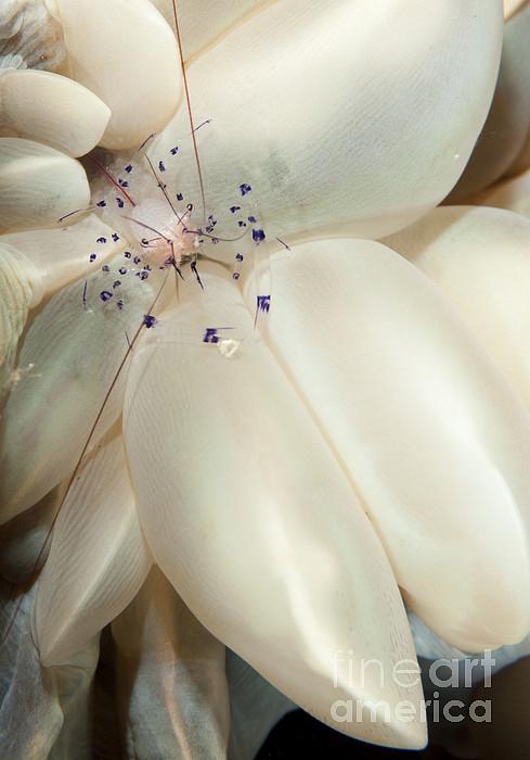 Arthropod Photograph - The Rare Colemans Coral Shrimp by Steve Jones