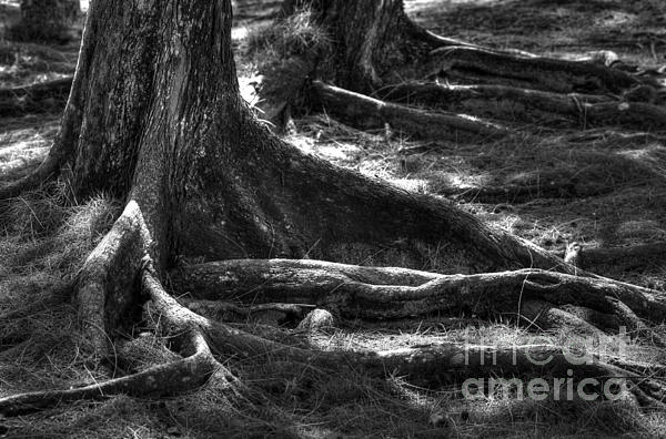 Tree Photograph - The Roots by Sophie Vigneault