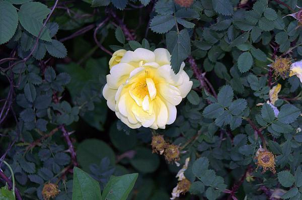 Rose Photograph - The Rose by Michael Sokalski