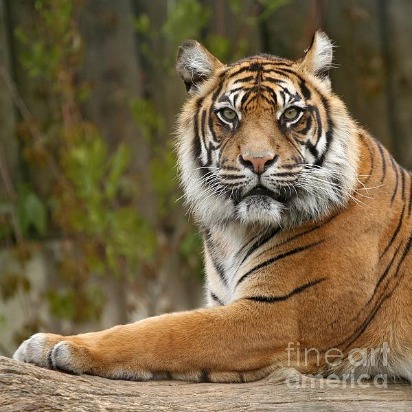 Siberian Photograph - The Siberian Tiger Animal by Boon Mee