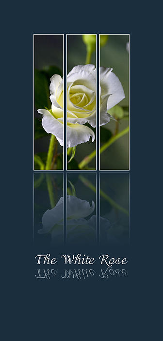 Poster Photograph - The White Rose by Sarah Christian
