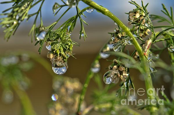 Plant Photograph - The World In A Drop Of Water by Peggy Hughes