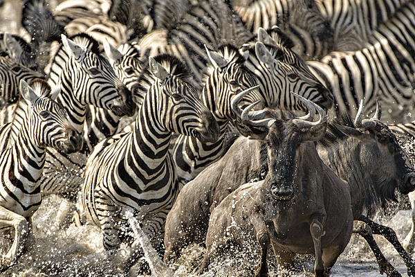 Etosha Photograph - The Zebra Rush by Paul W Sharpe Aka Wizard of Wonders
