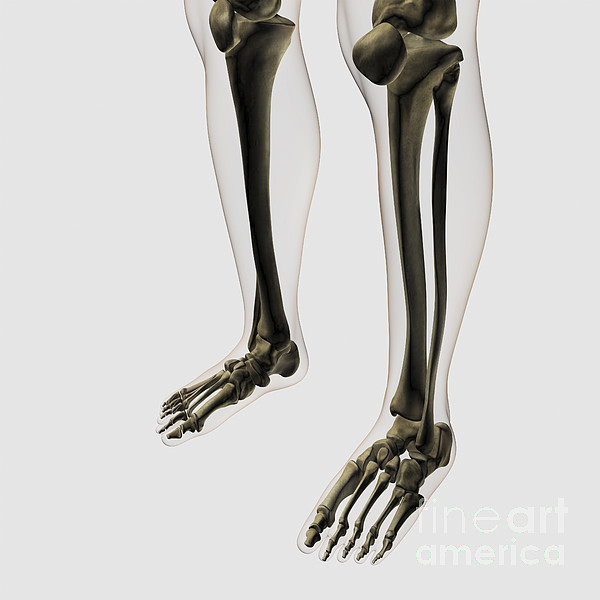Skeleton Photograph - Three Dimensional View Of Human Leg by Stocktrek Images