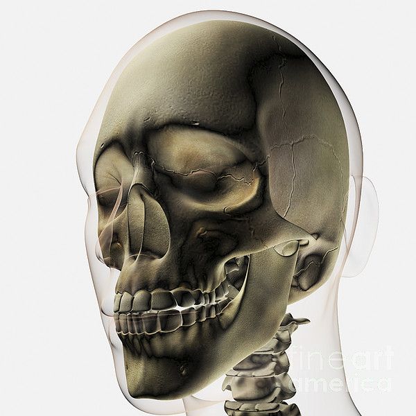 Skeleton Digital Art - Three Dimensional View Of Human Skull by Stocktrek Images