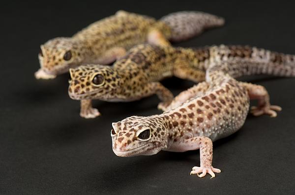 Three Female Leopard Geckos (eublepharis Macularius) At The Zoo. Photograph by Joel Sartore