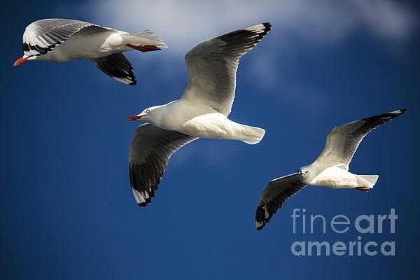 Silver Gulls Photograph - Three Silver Gulls In Flight by Avalon Fine Art Photography