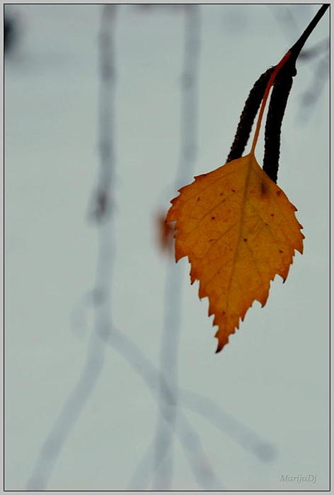 Nature Photograph - Tiny Birch by Marija Djedovic