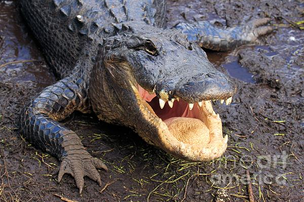 Alligator Photograph - Toothy Grin by Adam Jewell