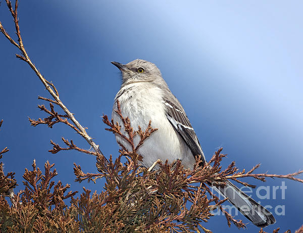 Northern Mockingbird Photograph - Top Of My Game by Betty LaRue