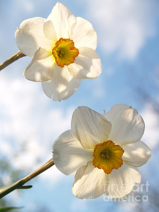 Jonquil Photograph - Transcendent Jonquils And Sky by Anna Lisa Yoder