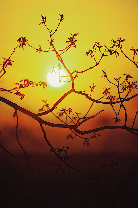 Tree Branch Silhouetted By Spring Sunset Photograph by Comstock