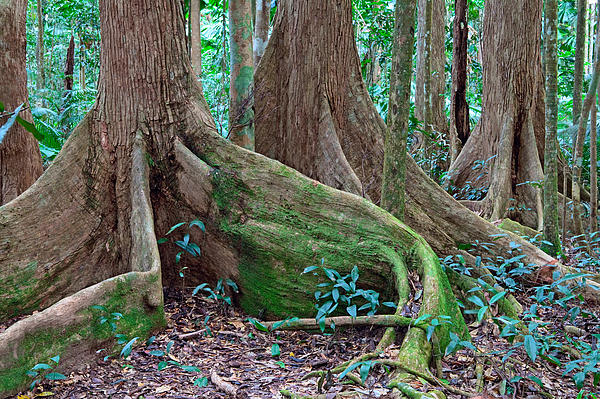 Roots Photograph - Tree Roots Tropical Rainforest by Dirk Ercken