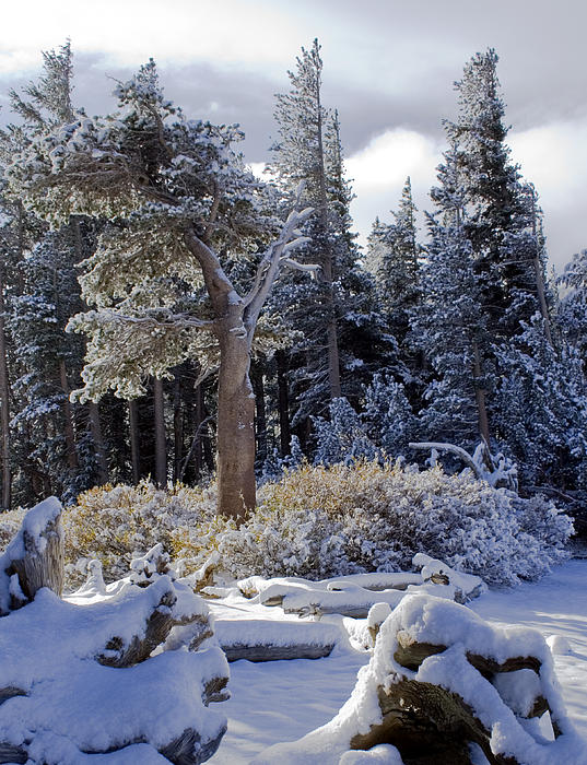 Snow Photograph - Trees Of Mcleod by Chris Brannen
