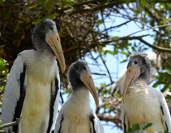 Family Photograph - Triplet Wood Stork Nestlings by Richard Bryce and Family