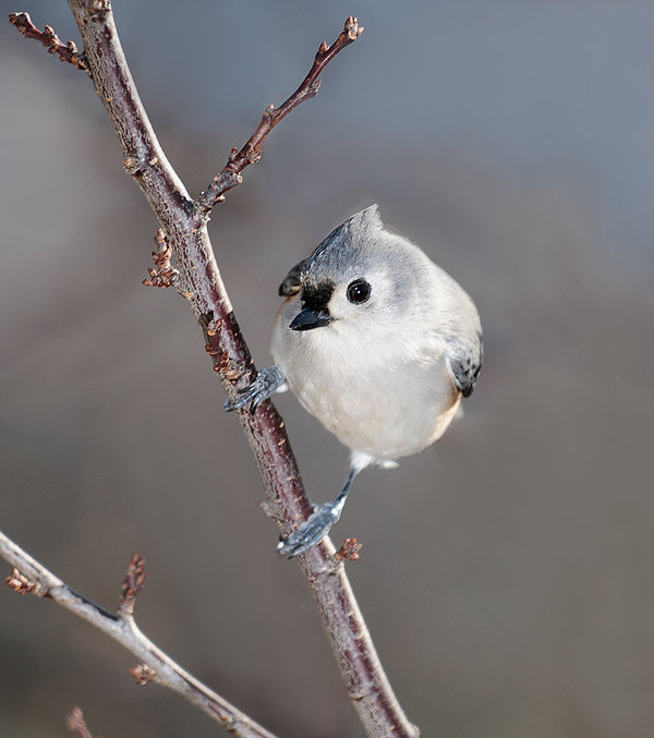 Tufted Titmouse Photograph - Tufted Titmouse 3 by Lara Ellis