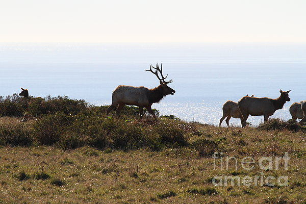 Bayarea Photograph - Tules Elks Of Tomales Bay California - 7d21230 by Wingsdomain Art and Photography