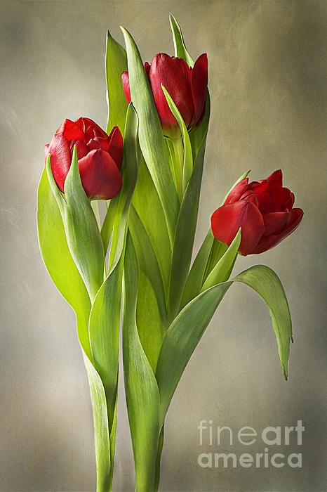 Tulips Photograph - Tulipa by Jacky Parker