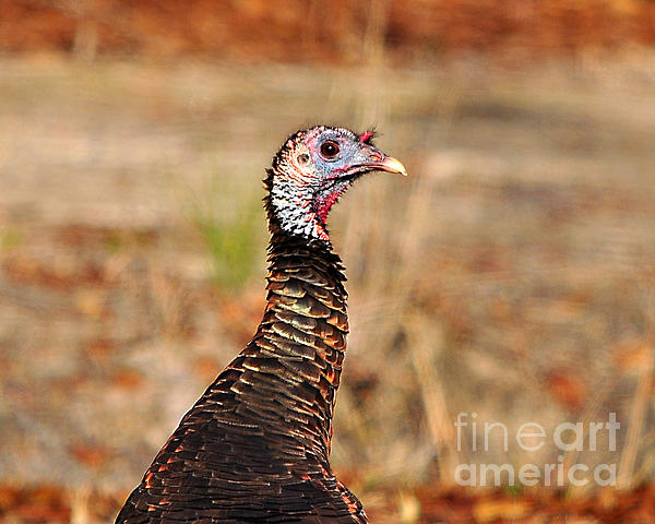 Turkey Photograph - Turkey Profile by Al Powell Photography USA