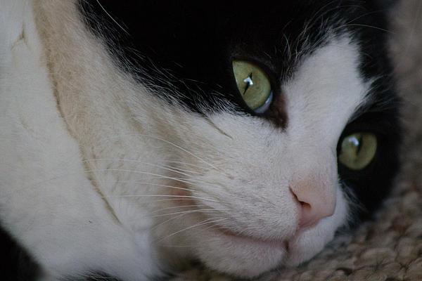 Cat Photograph - Tux by Rhonda Humphreys