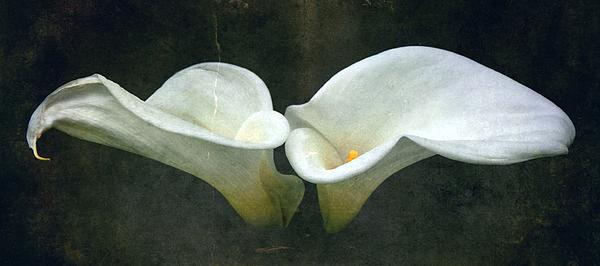 Calla Lilly Photograph - Two by Cathie Tyler