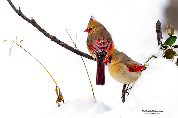 Birds Photograph - Two Females Posing As Cardinals by Randall Branham