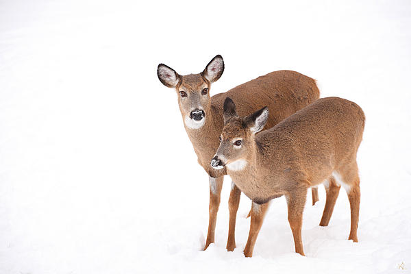 Buck Photograph - Two In The Snow by Karol Livote