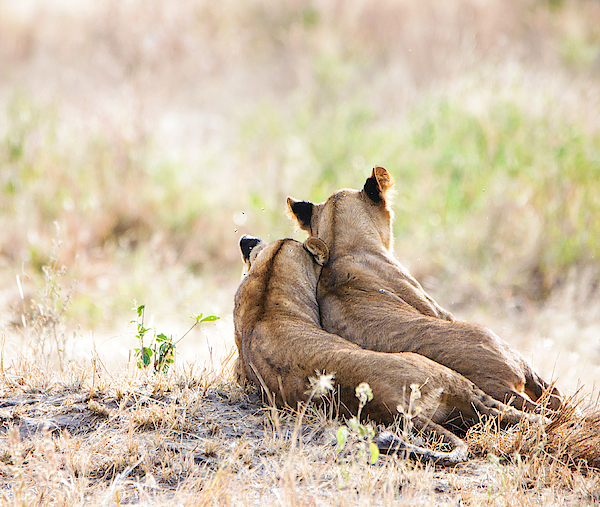 Two Lion Cubs In Tarangire, Tanzania Photograph by Vicki Jauron, Babylon and Beyond Photography