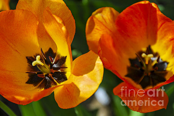 Tulip Photograph - Two Tulips by Elena Elisseeva