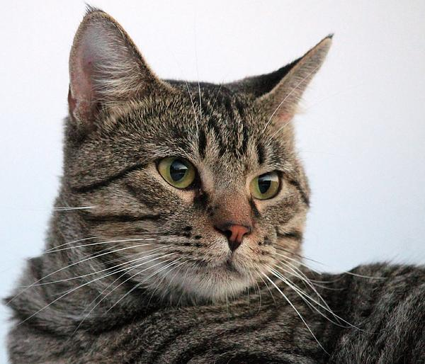 Cat Photograph - Tyson by Lorri Crossno
