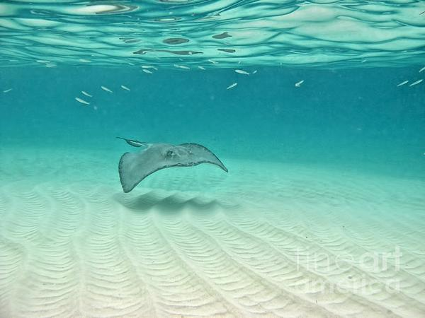 Stingray Photograph - Underwater Flight by Peggy Hughes