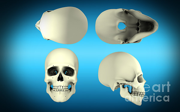 Horizontal Digital Art - View Of Human Skull From Different by Stocktrek Images