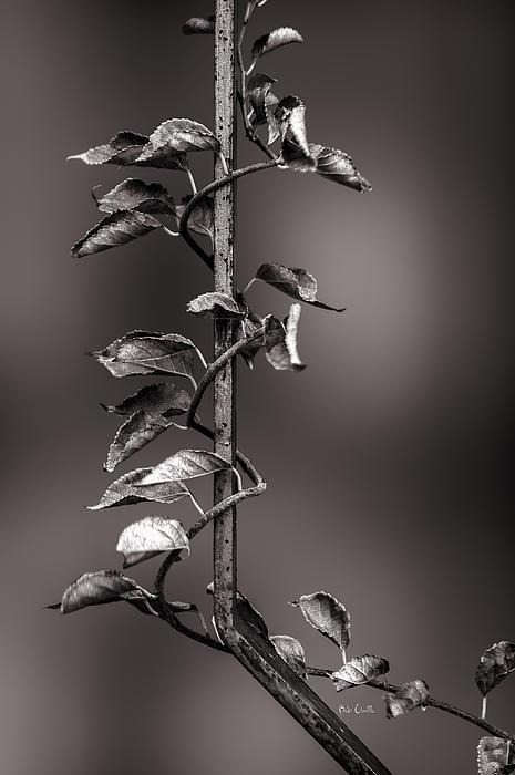 Vine Photograph - Vine On Iron by Bob Orsillo