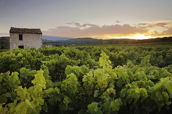 Photographic Photograph - Vineyard Near Malemort-du-comtat by Andy Kerry