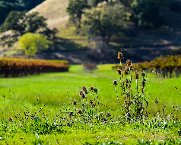 Cml Brown Photograph - Vineyard Thistles by CML Brown