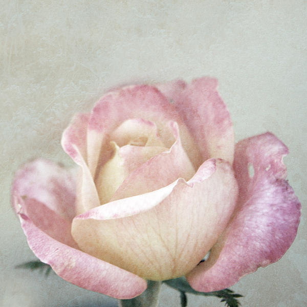 Pink And Turquoise Photograph - Vintage Rose In Pink And Robins Egg Blue by Brooke T Ryan