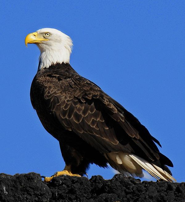 Bald Eagle Photograph - Virginia Bald Eagle by Lara Ellis