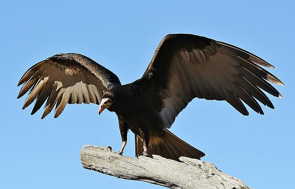 Vulture Photograph - Vulture Wings by Paulette Thomas