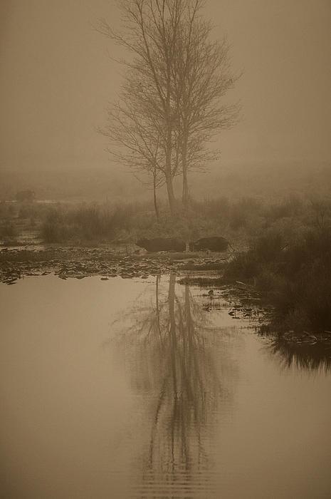 Sepia Portrait Photograph - Water Buffalo Morning Fog by Frank Feliciano