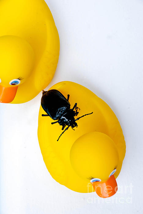 Absurd Photograph - Waterbug On Rubber Duck - Aerial View by Amy Cicconi