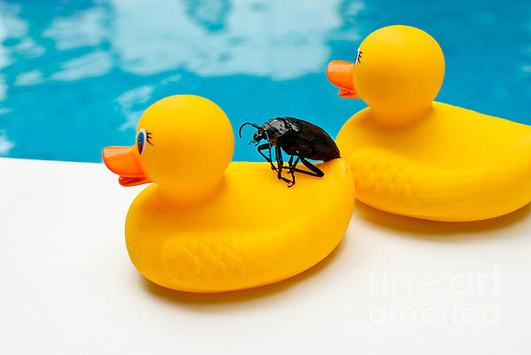 Absurd Photograph - Waterbug Takes Yellow Taxi by Amy Cicconi