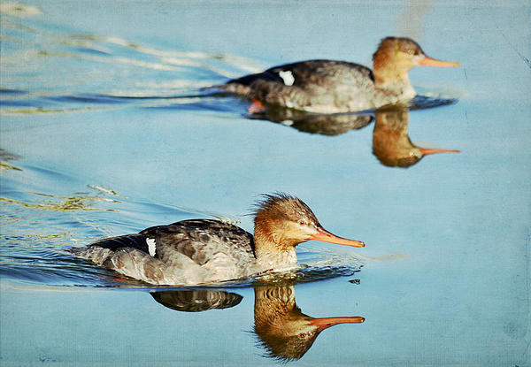 Grebes Photograph - Watercolors In Nature 4 by Fraida Gutovich
