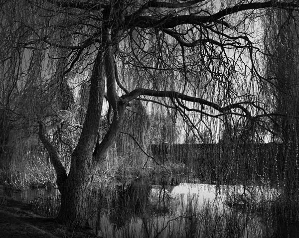 Willow Photograph - Weeping Willow Tree by Ian Barber