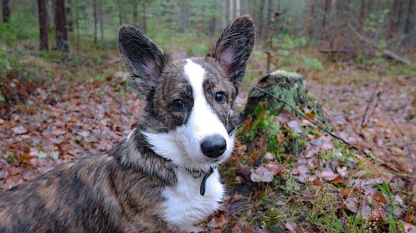 Welsh Corgi Cardigan Puppy Photograph by Malvablondie